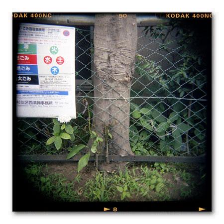 フェンス貫通樹